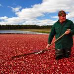 Harvesting Wisconsin cranberries