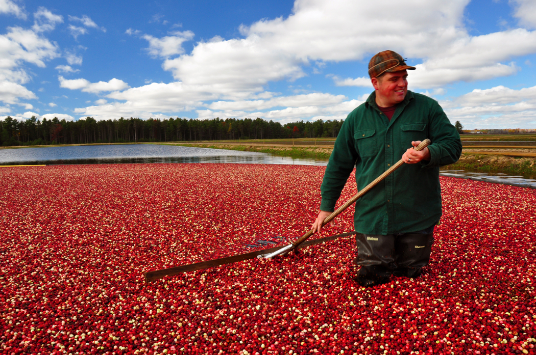 Harvesting Wisconsin cranberries